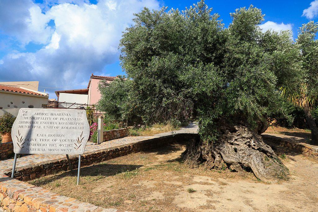 Plus ancien olivier