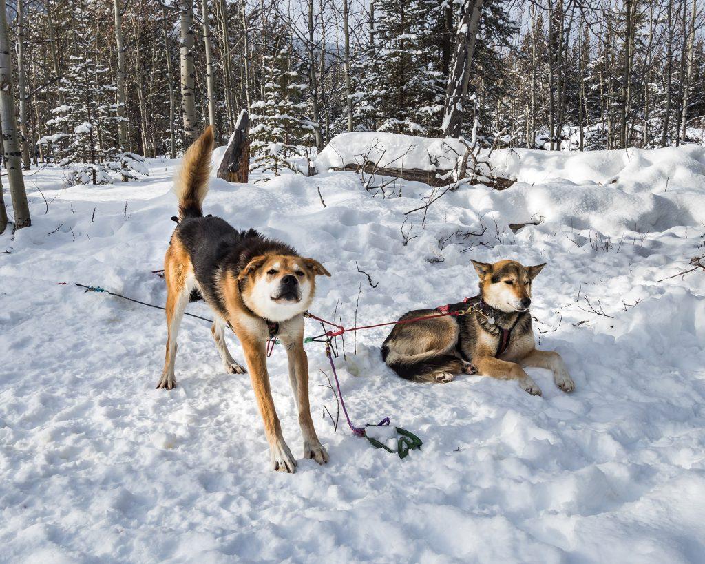 Dogsledding - Activité hiver - Yukon - Marie Naudon