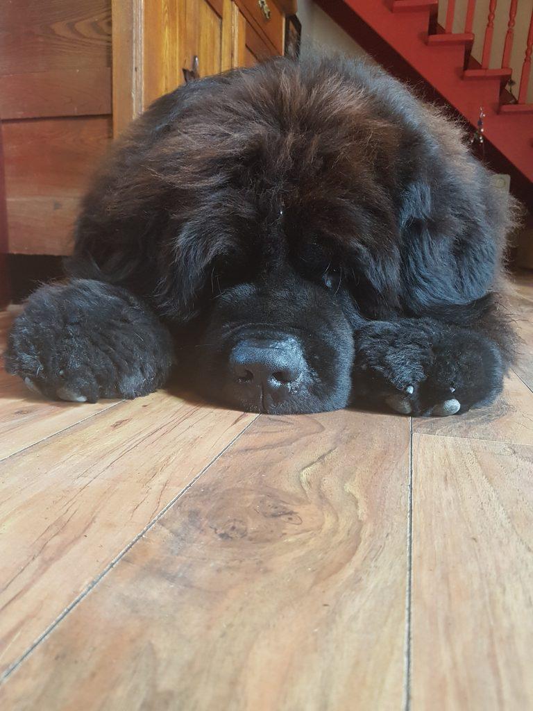 Tiempo, Race Terre-Neuve, Newfoundland dog